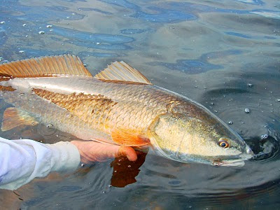 Ga. redfish slot limit