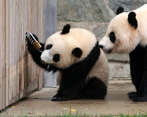 Panda scassinatori
