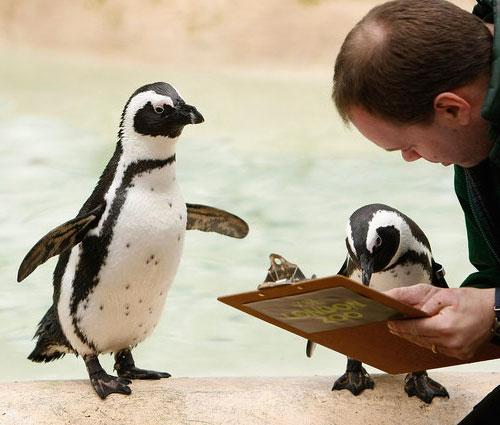 Pinguini cui stanno aumentando l'affitto
