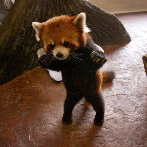 Panda rosso che adesso viene a prendervi
