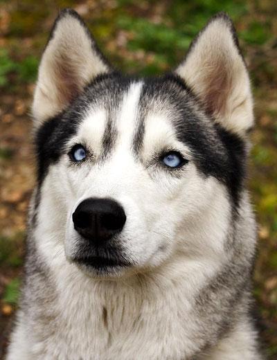 Husky che fatica a seguire