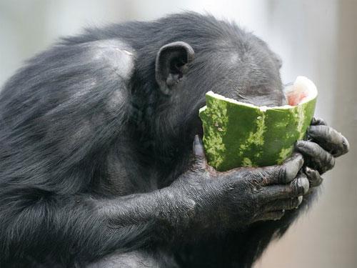 Scimpanzè che si rinfresca come può