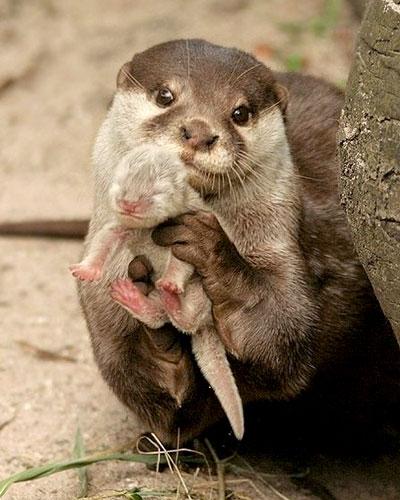 Lontra che tiene famiglia