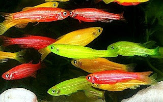 GloFish. Courtesy of www.glofish.com.