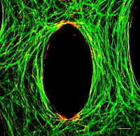 This immunofluorescence staining image shows the cardiomyocytes in green and the fibroblasts interspersed around them in red. The cells are aligned around the central pore. Credit: Brian Liau.