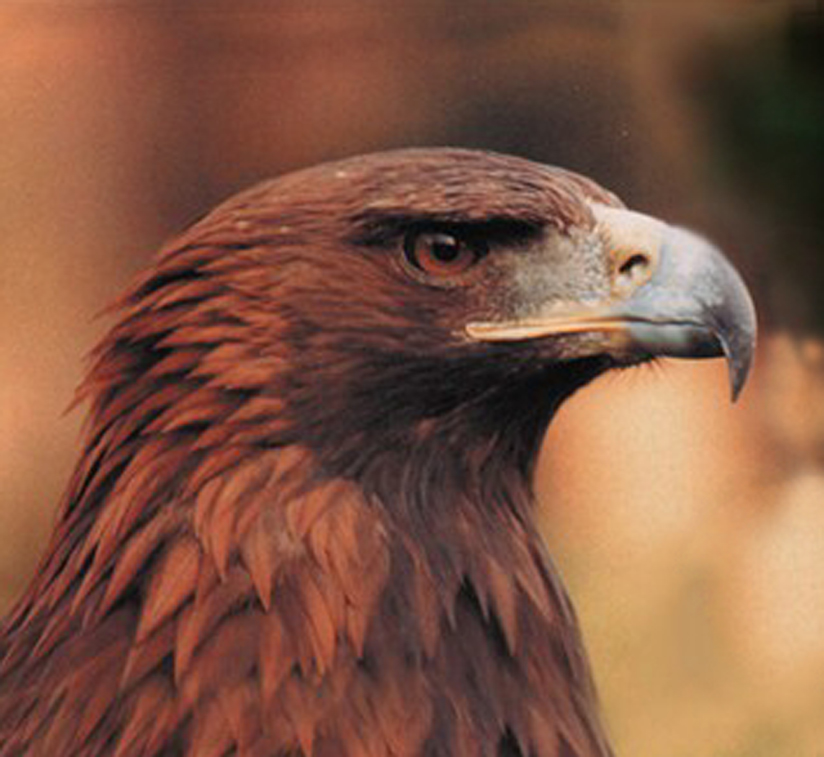 Pictures Of Golden Eagles. A RARE golden eagle taken to