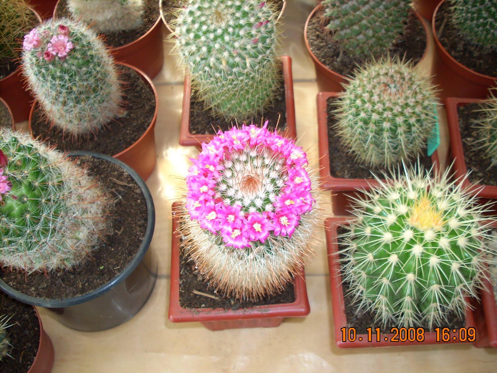 Vivero sanssouci usos y empleos de los cactus for Cactaceas de chile