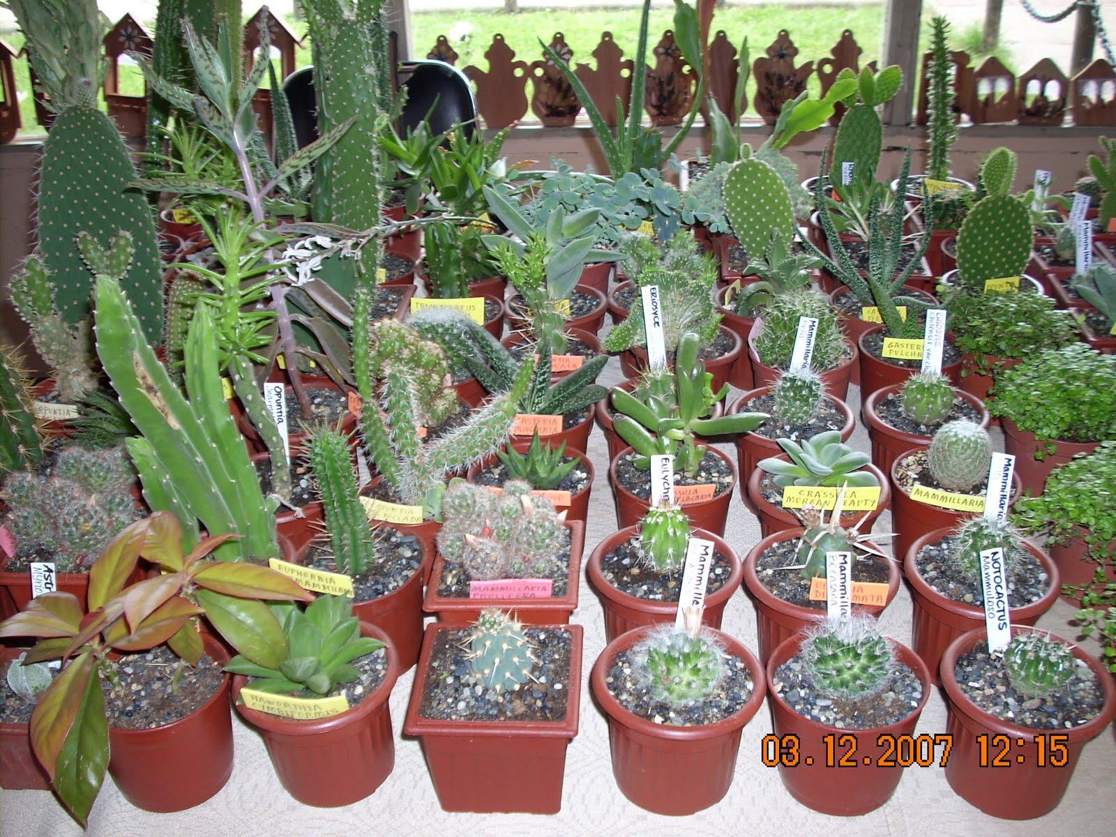Vivero sanssouci productos del vivero sanssouci cactus y for Vivero de cactus en chile