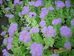 Sedum Spectabile (plantas suculentas)