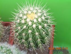 Echinocactus grusonii juvenil (asiento de la suegra)