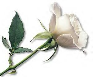 The White Rose: