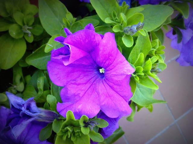 flores lilaceas
