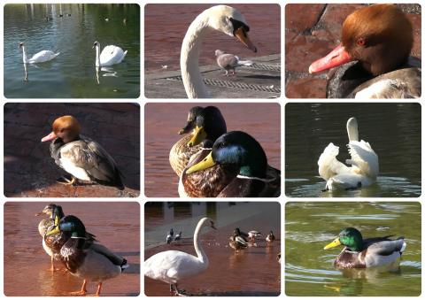 patos-y-cisnes