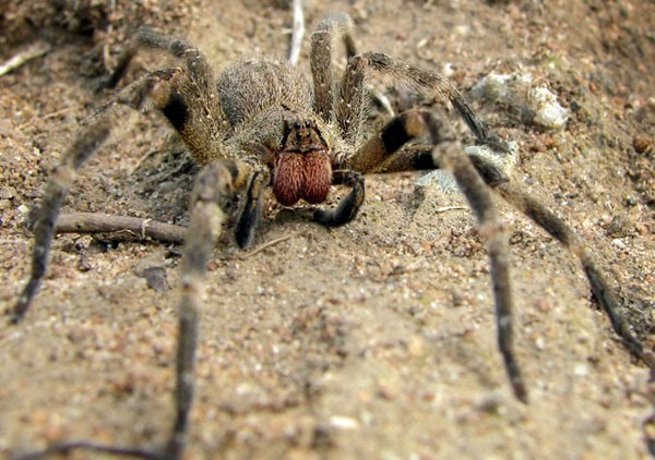 Brazilian wandering spider insect from hell