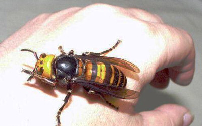 Japanese giant hornet insect from hell