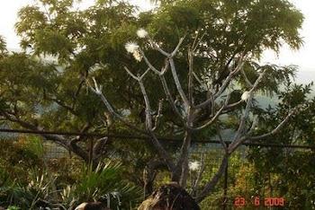 Árvore tortuosa do cerrado