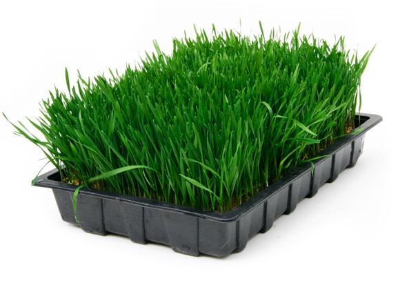 كيف تعرف بان احد الفيتامينات ناقص لديك ؟ Wheat-grass-tray