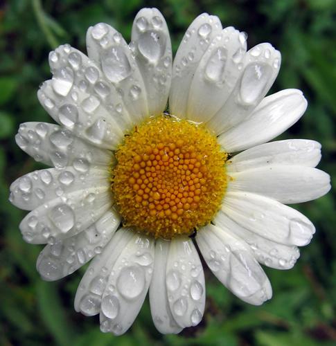 البابونج فوائد ومنافع طبية رائعة chamomile-bsp.jpg