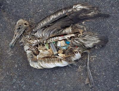 Albatros muertos en la playa después de comer basura