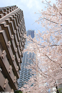 Cherry blossoms in bloom, at Kamiyacho, in Tokyo