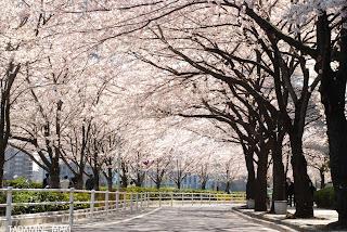 The sakura arch, at Shinkawa, along Sumida River, in Tokyo