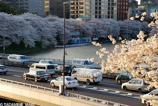 Cherry blossoms, at Chidorigafuchi, in Tokyo