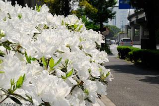 Azaleas at bloom, in Tokyo