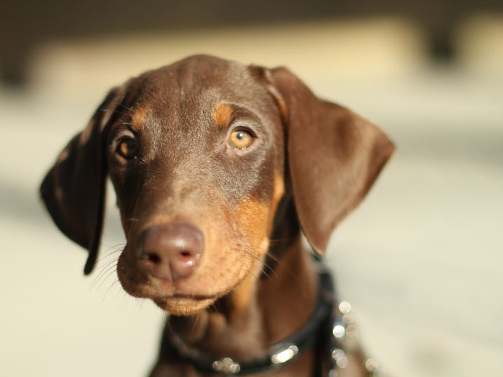 Red Doberman Pinscher Puppies HD wallpaper
