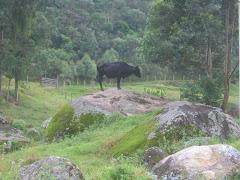 vaca escaladora nos três picos