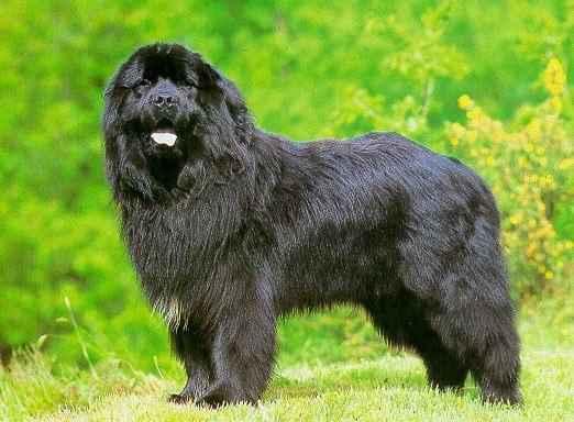 Informacion Perros e imagenes Nº27: Terranova