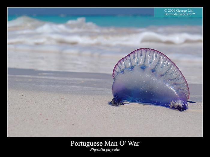 largest man of war jellyfish - photo #11
