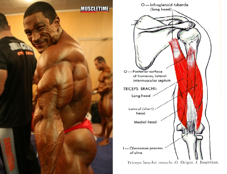 Muscle Activation Triceps