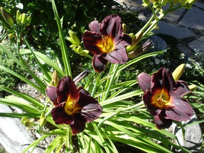 black day lilies