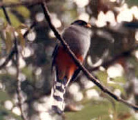 Trogon de la Hispaniola