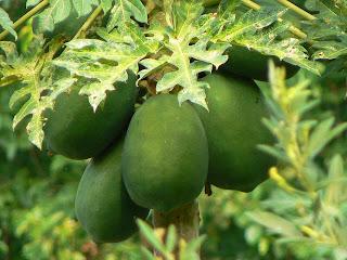 Lechoza(Papaya)