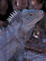 Iguana de Ricord