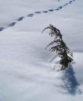 Piccolo pino in mezzo alla neve