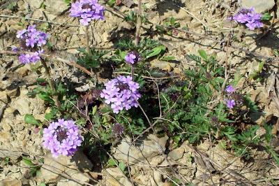 Picture of purple-lavender Oklahoma native wild flower Prairie Verbena ...