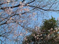博物館の桜