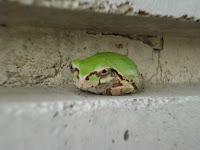 壁の隙間に雨蛙