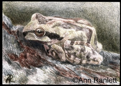 Amphibious - tinted graphite drawing by Ann Ranlett