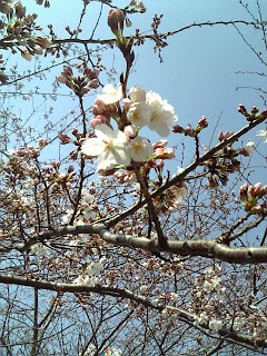cherry blossoms starting to bloom