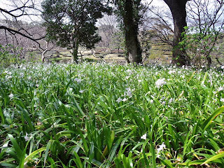 Iris Japonica in ninomaru garden