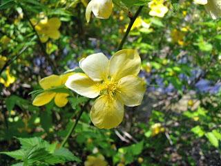 Yamabuki(Kerria japonica)
