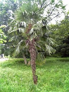 shuro ( chusan palm )
