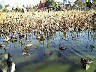birds in shinobazu pond