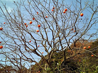 Persimmon tree in early winter