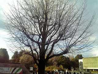 ginkgo tree in ueno park in winter