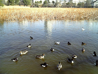 shinobazu pond in winter