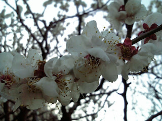 ume blossoms in yushima tenjin